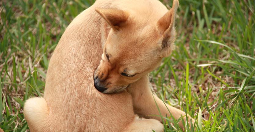 Parasitas externos: Conheça os inimigos do seu cão e saiba como o proteger