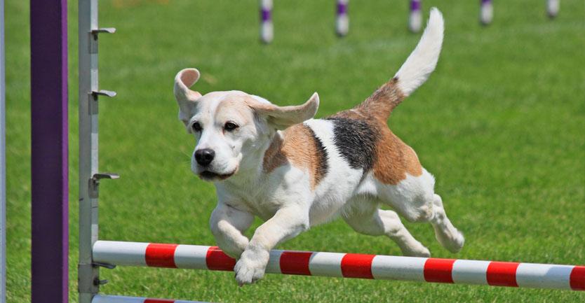 Raça: Beagle