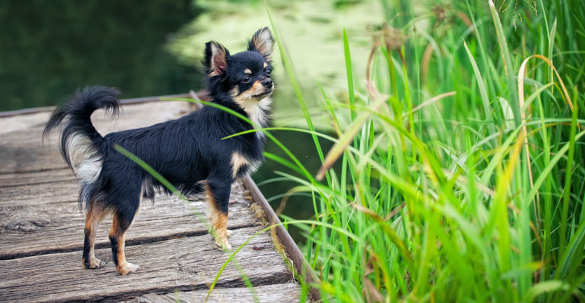 Raça: Chihuahua