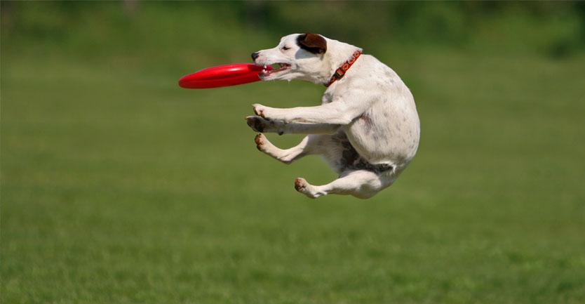 Raça: Jack Russel Terrier