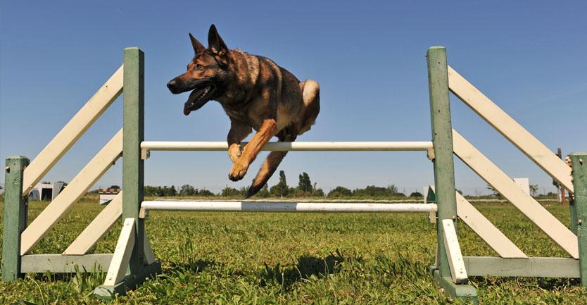 Raça: Cão de Pastor Alemão