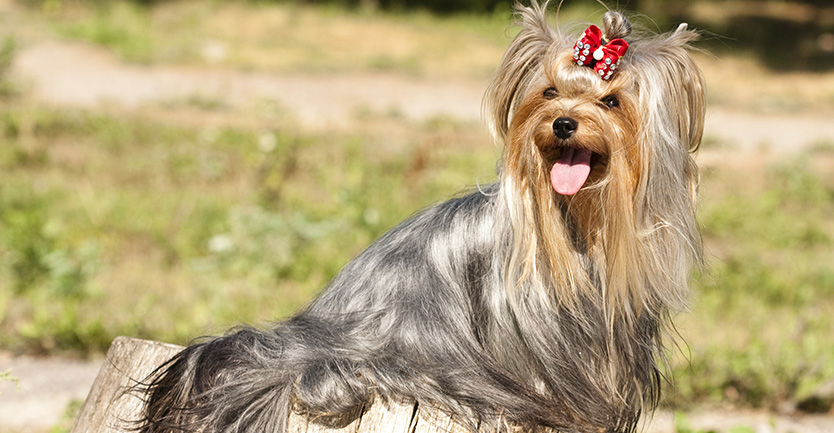 Raça: Yorkshire Terrier